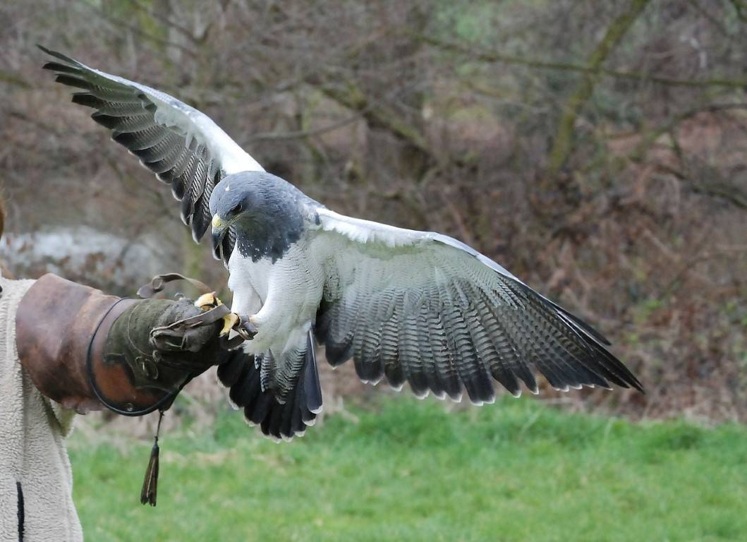 Fischadler fliegt auch in Sachsen