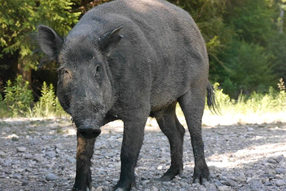 Wildschweine sehen süss aus