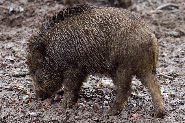 Kleine Wildschweine